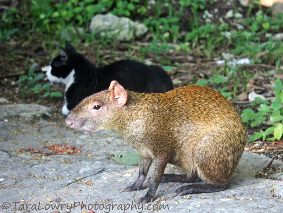 agouti2smallsigned